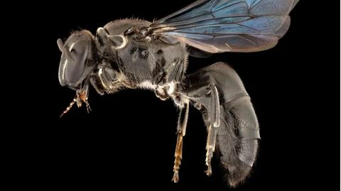 Die wiederentdeckte Bienenart Pharohylaeus lactiferus