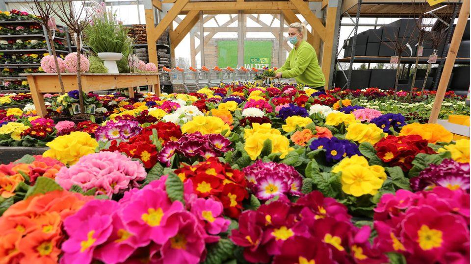 Wernigerode, Deutschland.Eine Mitarbeiterin eines Gartencenters richtet Blumen für den Verkauf her. Derzeit laufen die Vorbereitungen für die Wiedereröffnung ab dem 1. März 2021 nach dem Corona-Lockdown.