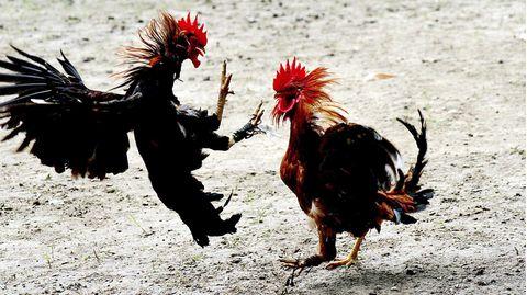 Ein Hahnenkampf in Indien