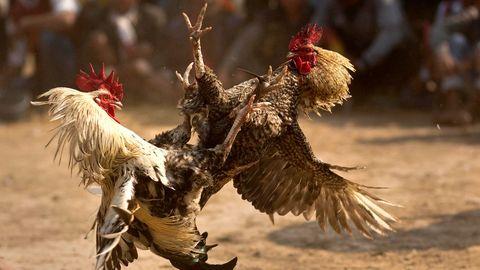 Zwei Hähne kämpfen bei einem Hahnenkampf gegeneinander.