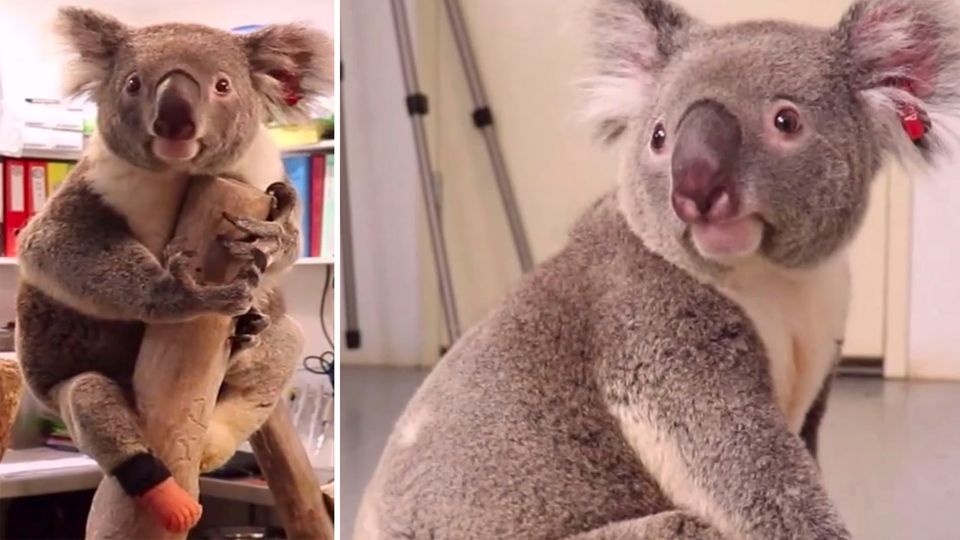 Triumph – dreibeiniger Koala bekommt eine neue Prothese
