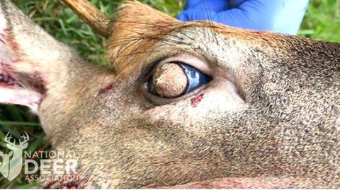 Gruselige Fotos: Reh wächst Fell aus den Augen – ist das wirklich echt?