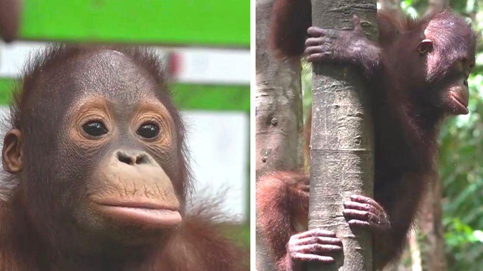 Am Hals gefesselt und in Hütte festgehalten – befreiter Orang-Utan lernt Klettern