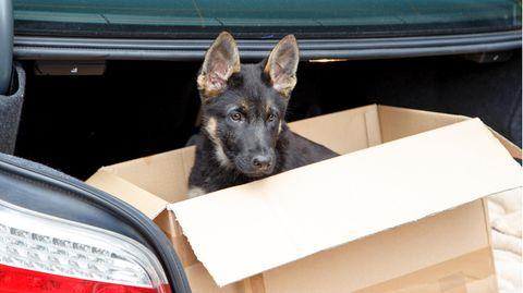 Dunkler Schäferhund-Welpe sitzt in einem Papierkarton im Kofferraum eines Autos