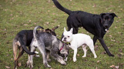 Vier Hunde spielen in einem Park.