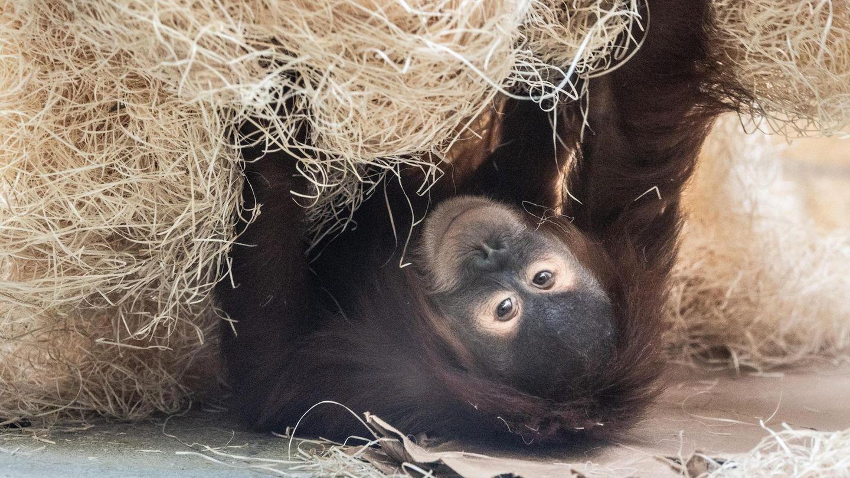 Vier Orang-Utans, wie dieser hier aus dem Zoo in Dresden, wurden in San Diego geimpft