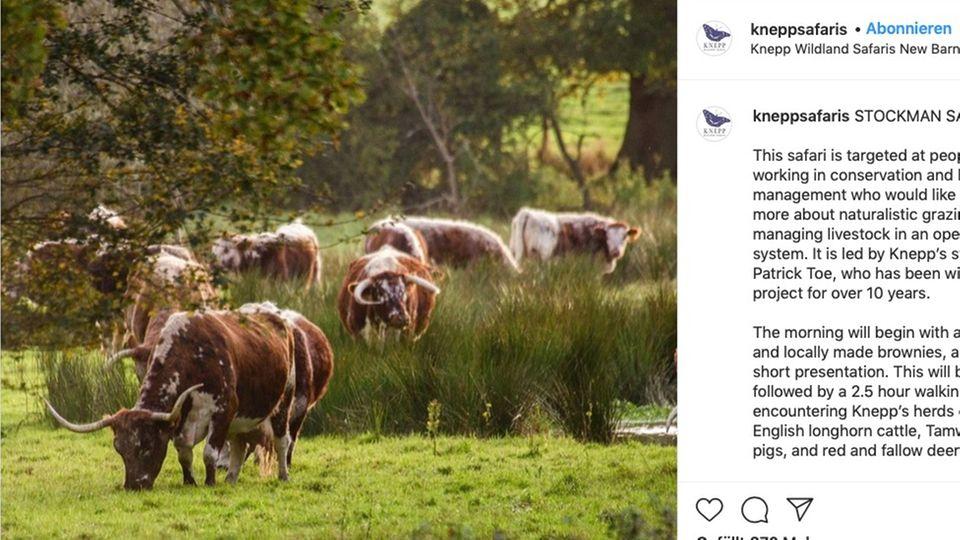 Die Rinder fühlen sich in der Freiheit besonders wohl
