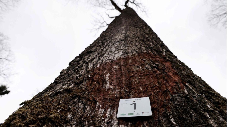 """Ein Schild mit der Aufschrift """"Baum Nummer 1"""" an eine Eiche genagelt, die für die Rekonstruktion von Notre Dame verwendet wird"""