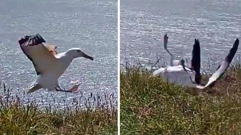 "Neuseeland: Bruchlandung in Livestream macht Albatros ""berühmt"""