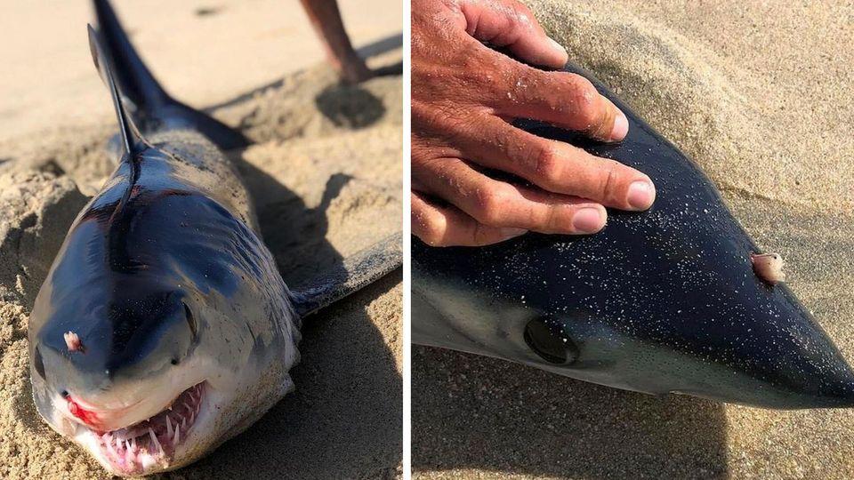 Vom Jäger zum Gejagten – Hai wird von unbekannten Tier angegriffen