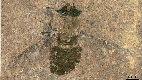 Eine fossile Fliege