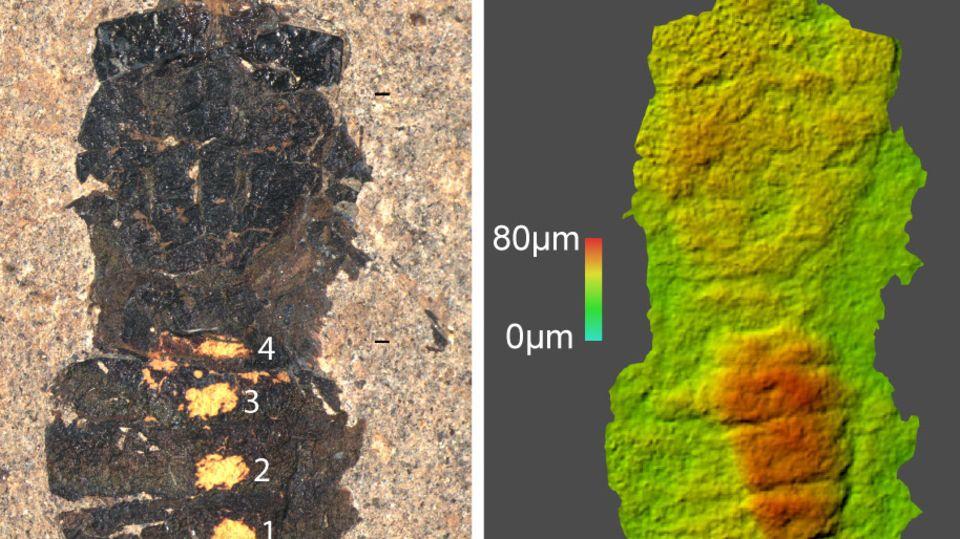 Zwei Bilder nebeneinander zeigen den Magen einer fossilen Fliege in einer starken vergrößerung