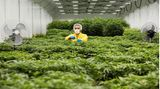 Skopje, Nordmazedonien. Ein Arbeiter inspiziert Pflanzen auf einer medizinischen Cannabis-Farm nahe der Hauptstadt.Der Balkanstaat wittert wieder einmal die Chance, ein Cannabis-Pionier in Europa zu werden. Die Regierung verspricht eine öffentliche Debatte über die Legalisierung der Droge Marihuana und will das Land zum Amsterdam des Balkans machen.