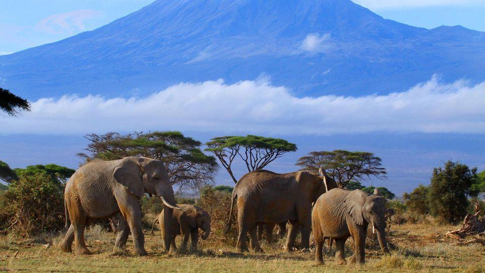 Eine Elefantenherde streift vor dem Kilimandscharo durch das Gras
