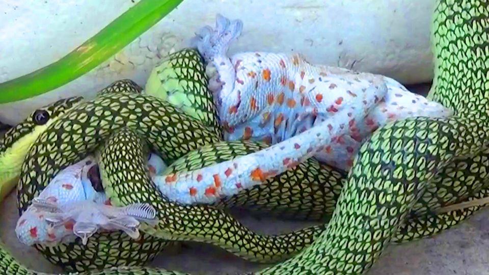 Tiervideo: Schlange würgt Gecko – der verbeisst sich in ihr