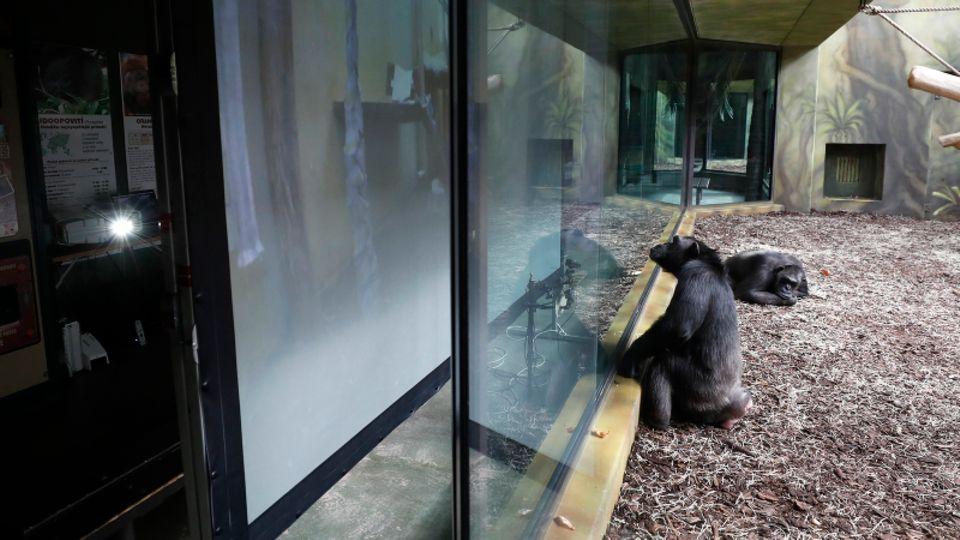 Ein Schimpanse sitzt im Gehege eines Zoos vor einem Bildschirm