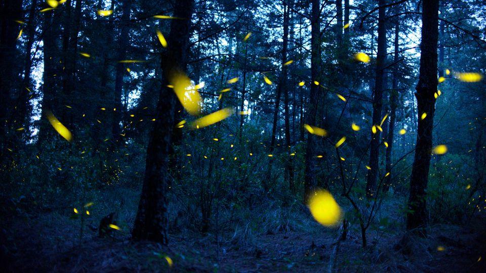 Glühwürmchen kann man meist nur bei Nacht bewundern – im Tunnel in Lithgow geht das auch am helllichten Tag (Symbolbild)