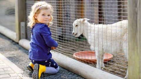 Ein kleines Mädchen füttert eine Ziege