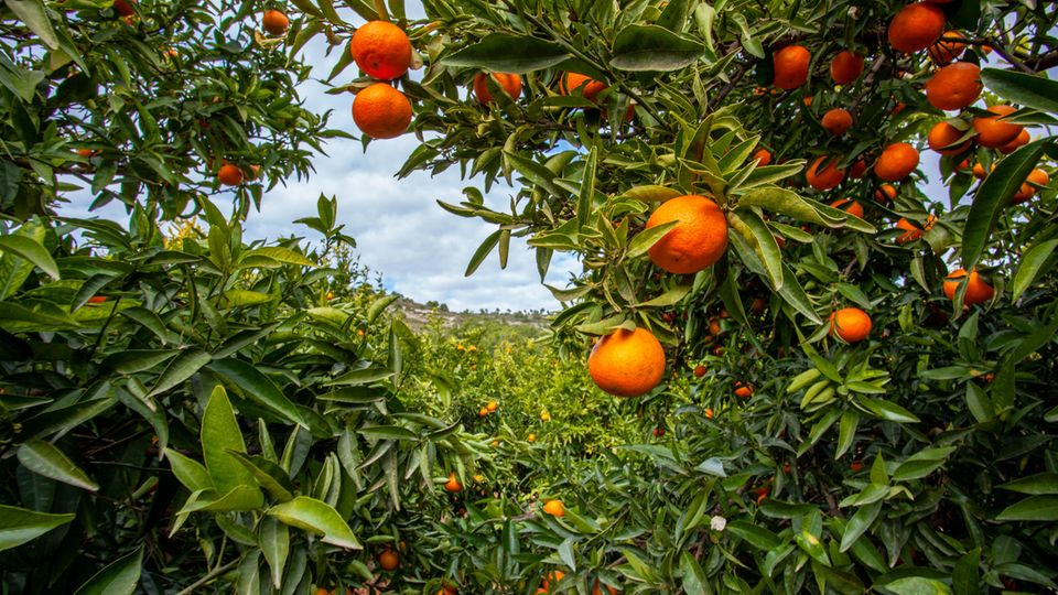 Übriggebliebene Orangen werden jetzt in Andalusien in Biogasanlagen genutzt.