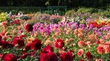 Der Dahliengartenim Volkspark Altona ist Europas ältester noch bestehender Dahliengarten, jede Sorte hat ein eigenes Beet.