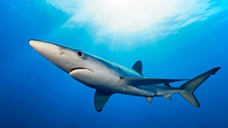 Blauhai im Wasser