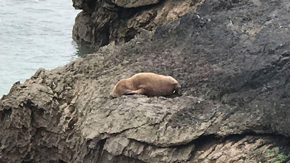 Das gestrandete Walross auf einem Steinfelsen