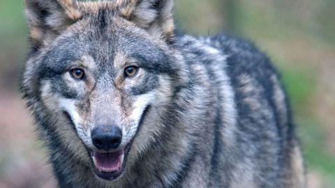 Nahaufnahme eines Wolf.