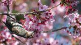 Tokyo, Japan: Fast zwei Wochen eher als erwartet blühen die berühmten Kirschbäume in der Hauptstadt und erfreuen neben den Bewohnern auch diesenVogel.