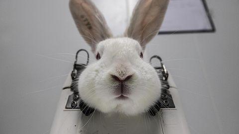 Dieses Kaninchen wurde mit einer Kopfstütze fixiert, bis es bewegungsunfähig die Versuche über sich ergehen lässt