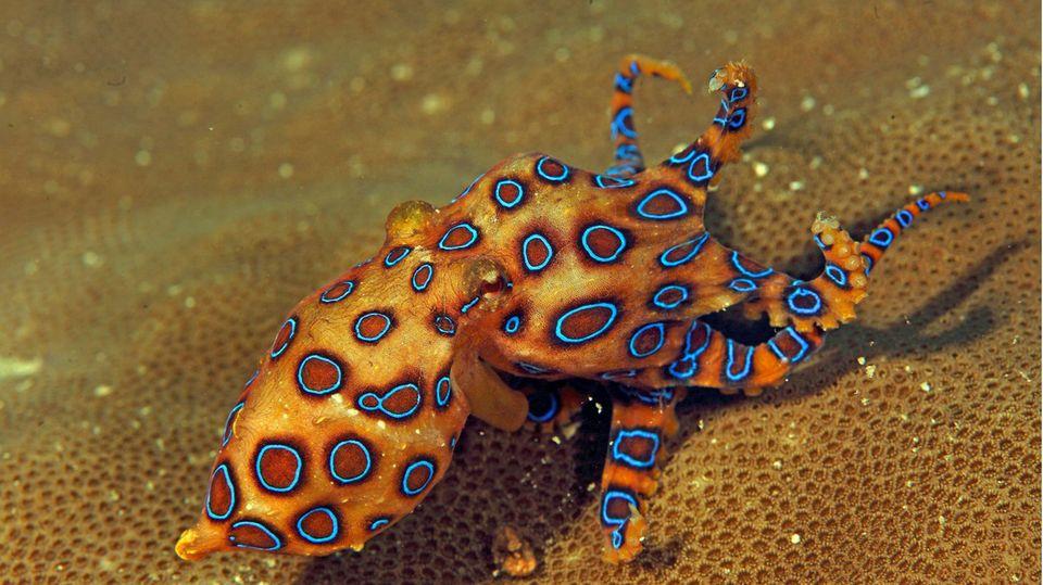 Der Blauring-Oktopus gehört zu den gefährlichsten Tieren der Welt