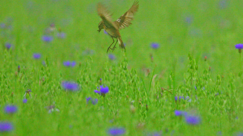 Ein Braunkehlchen über einer wogenden Blumenwiese. Die Art steht auf der Roten Liste der Brutvögel Deutschlands und gilt als stark gefährdet.