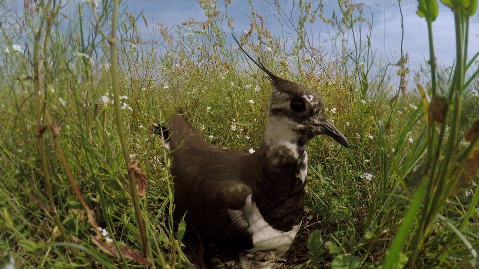 Der Kiebitz ist ein Bodenbrüter. Seit 2015 steht die Art auf der Roten Liste gefährdeter Vogelarten.