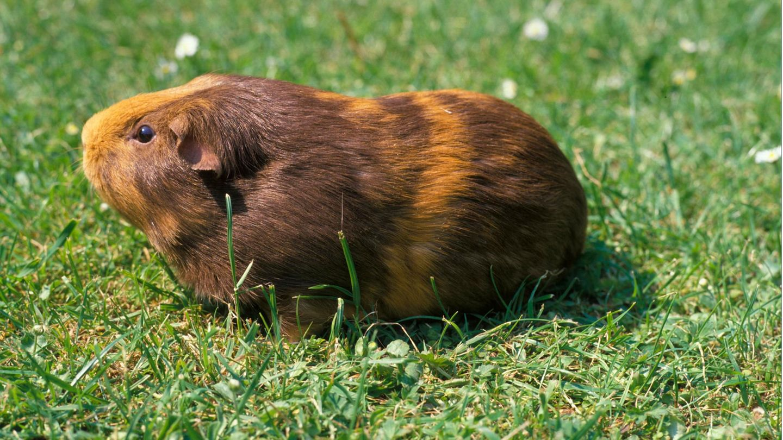 Meerschweinchen auf Rasen
