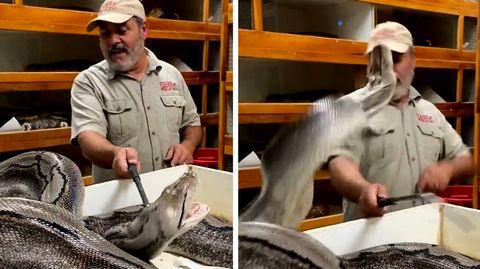 Python schnappt nach Tierpfleger