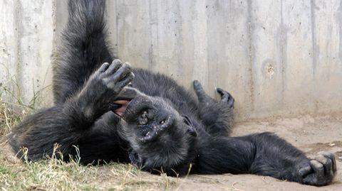 Durch Hautkontakt übertragbar: Milzbrand tötet unerwartet viele Schimpansen - auch für Menschen Gefahr?