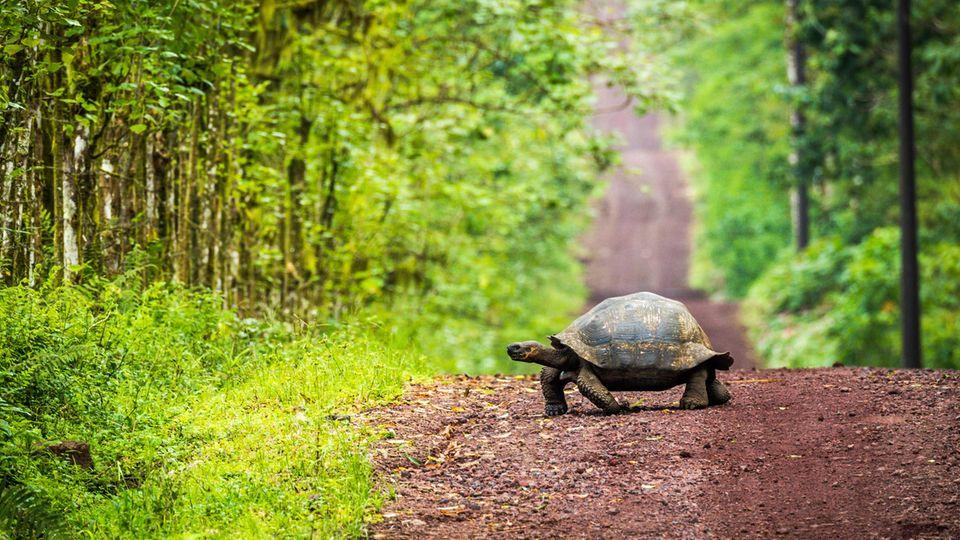 Fast ausgestorben: die Galapagos-Schildkröte