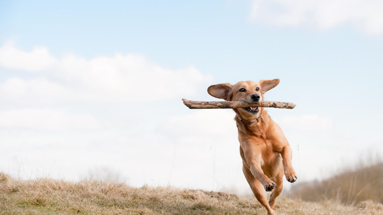 Hund rennt mit Stöckchen über Gras.