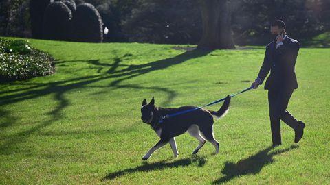 """Ein Mitarbeiter des Weißen Hauses führt Schäferhund """"Major"""" über den Südrasen des Anwesens"""