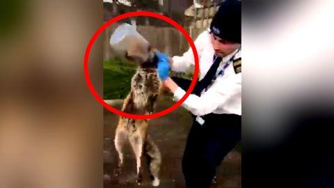 Fuchs vor grausamem Erstickungstod gerettet - Kopf aus Plastikflasche befreit