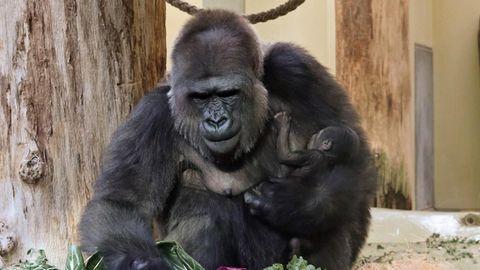 Nach Tötung von Gorilla Harambe: Shitstorm gegen Zoo und gegen Eltern