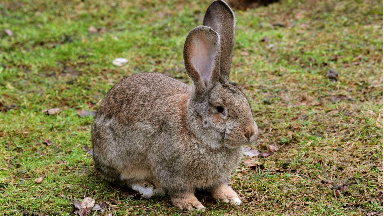 Deutscher Riese Kaninchen