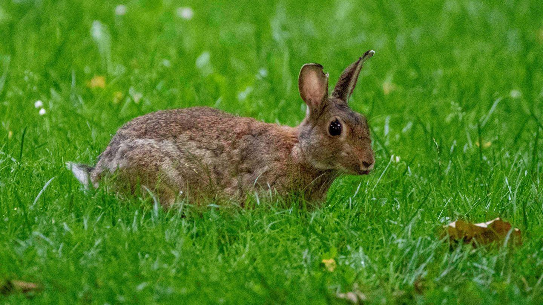 Ein Kaninchen sitzt auf einer hohen Wiese