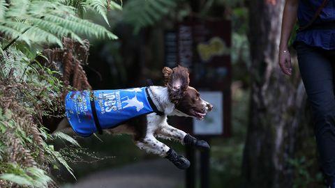Spürhund Pip trainiert mit seiner Besitzerin und Hundeführerin