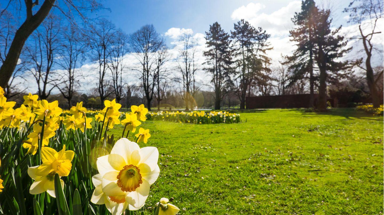 Osterglocken in der Frühlingssonne (Symbolbild).