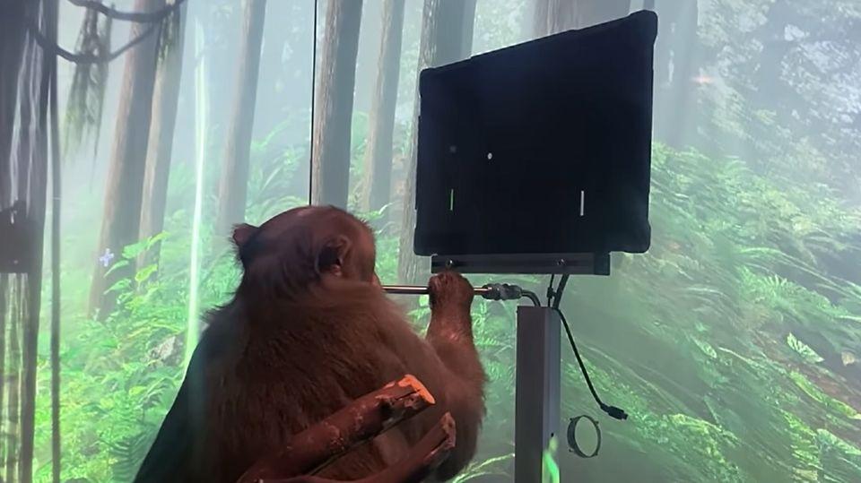 Die Makakendame Pager hat Implantate im Hirn, die ihre Hirnaktivität aufgezeichnet haben, während sie einen Joystick bewegte