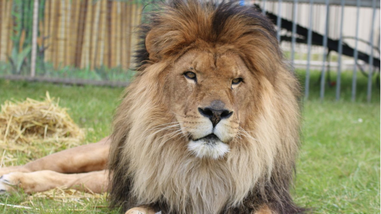 Löwe Kasanga in seinem Freigehege im Circus Krone.