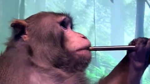 Elon Musks Gehirnchip: Affe steuert Videospiel mit seinen Gedanken