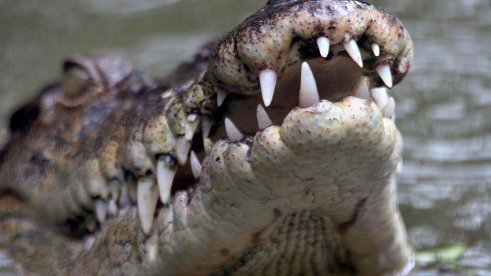 Ungewöhnlicher Fund: Zum Fressen gern: Alligator hat nicht nur Hundemarken im Magen