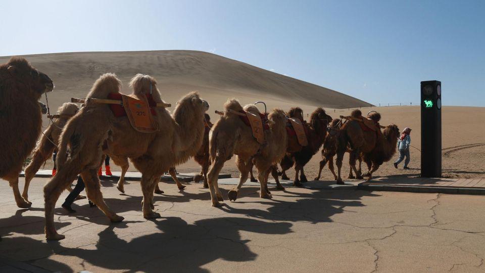 Eine Kamelherde überquert an der Ampel eine Kreuzung