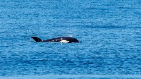 Ein Orca schwimmt im offenem Meer